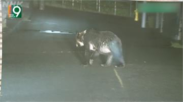 日本熊近期出沒頻繁 民眾遭攻擊釀2死138傷
