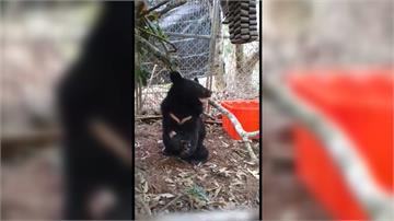 迷走部落小黑熊長大了 取名「利稻」盼當「好野熊」