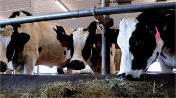血比人多!美生技公司用「牛隻」培養武漢肺炎抗體