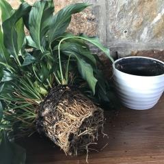 植栽根跑出來怎麼辦?5步驟輕鬆換盆