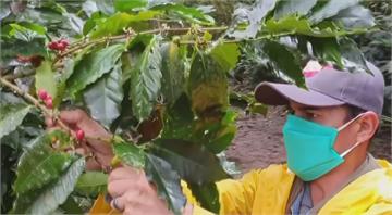 人力缺乏加蠹蟲盛行 哥倫比亞咖啡產量受影響