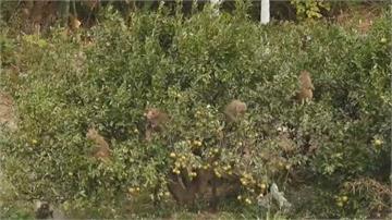 火炎山缺水斷糧 猴王率猴群下山大鬧果園