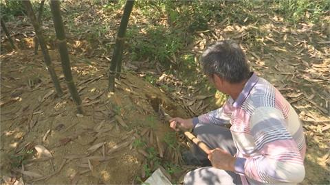 降雨偏少 嘉義仁義潭乾涸台南龍崎綠竹筍產量大減、梅子長不大