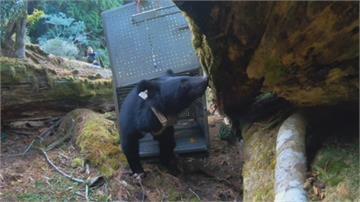 動物版「湯姆克魯斯」 錦屏母熊今野放重回山林