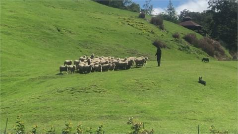 微解封後首場綿羊秀 清境農場吸3百遊客