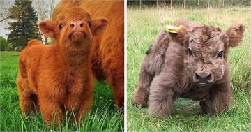 毛茸茸《蘇格蘭高地牛》看起來像娃娃一樣 可惡想抱