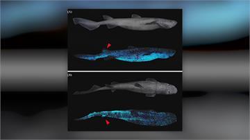 自體發光...躲避來自深海的威脅   紐西蘭海域發現三種發光鯊魚
