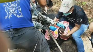 快新聞/台灣黑熊誤觸山豬吊受重傷 林務局:6日將商議獵具實名制