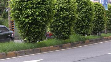 獨家/新規上路!分隔島前25公尺 植栽禁高於50公分