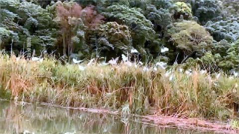 一度乾旱成草原 水位回升白鷺鷥也回來了