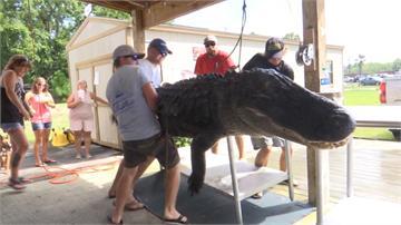 跟船一樣大!美國獵人捕獲3.6米短吻鱷魚