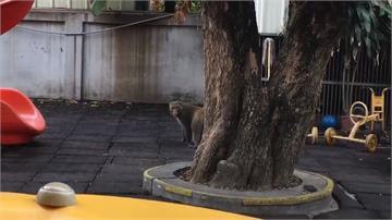 獼猴亂入幼兒園 表情兇狠嚇壞家長