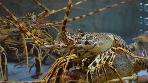 香港稱龍蝦走私是國安問題 澳洲要求說明