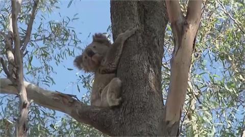 無尾熊3年來銳減3成!野火、濫伐釀禍 澳洲政府擬升級「瀕危物種」