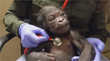 猩媽出血緊急剖腹 波士頓首隻公猩猩誕生