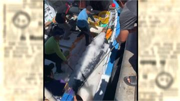 旗魚「正著時」!台東拍出每公斤601元天價