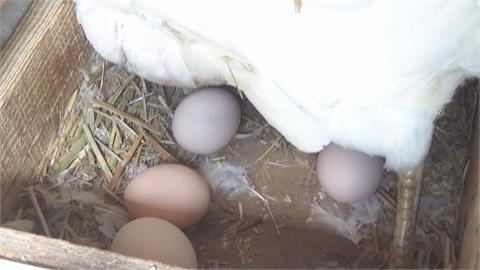 熟蛋返生孵小雞? 央視轟中奇葩論文「傷害性很大」