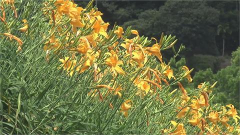 「陽光金針」見識過了嗎?遊客一睹花海美景 新秘境隱身在這