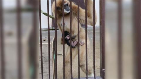 母猿獨居5年竟懷孕生子 日本動物園傻眼