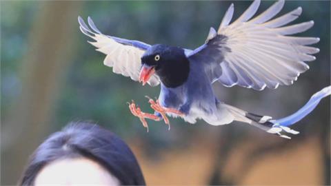 台灣藍鵲「空襲」 攻擊文大學生後腦勺