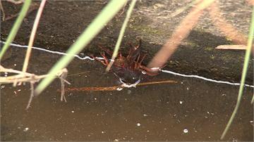 水溝竟成釣蝦場?外來種螯蝦危及生態