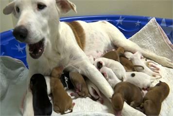 混血拉不拉多犬生下20隻小寶寶 堪稱超級狗媽媽
