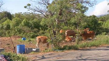 牛車爭道意外多! 台東11/29起省道200米內禁養牛