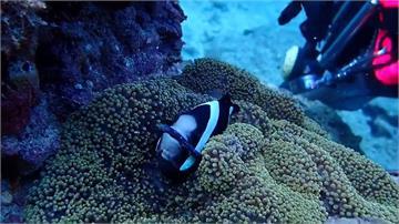 小琉球「尼莫」遭髮圈纏身 潛水教練展開救援