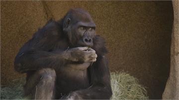 接種武肺疫苗 加州大型猿猴搶第一
