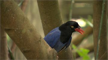 繁殖期小心藍鵲巴頭 台北市立動物園圍起遊客封鎖線