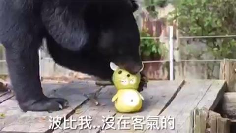 動物園過中秋 黑熊、長鼻浣熊大啖柚子餐