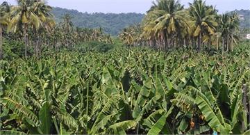 快新聞/【獨家】一公斤香蕉只剩5塊錢!產地直擊旗山蕉農淌血心聲