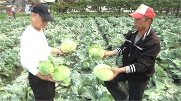 1顆高麗菜10元!農民開放摘採全掃光