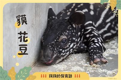 快新聞/馬來貘寶寶命名結果出爐! 「貘花豆」獲14萬票勝出