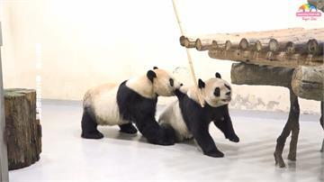 圓仔升格當姊姊!大貓熊圓圓產下二胎 寶寶叫聲宏亮