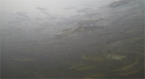 加州河流乾旱高溫 鮭魚也活不下去