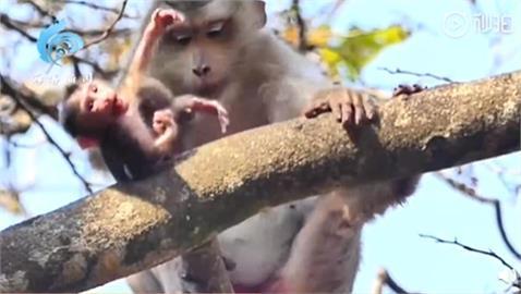 幼猴討抱抱!下秒遭母猴推下樹慘死 辛酸真相曝光