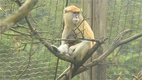 不敵蘋果誘惑 逃跑3天紅猴「男道」回家了