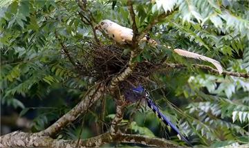 快新聞/稀有白化藍鵲現身!  愛鳥人士捕捉到珍貴畫面