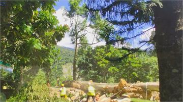 巨樹遭白蟻蛀蝕恐倒下 工人驚險懸空作業砍除