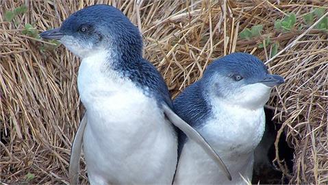 澳洲「這座島」遭大屠殺!3千隻「小藍企鵝」被28隻袋獾全吃光