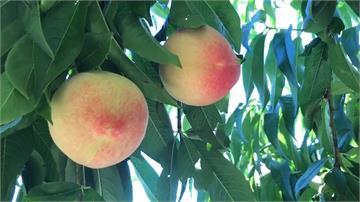 梨山森活節登場 水蜜桃可口多汁正「對時」