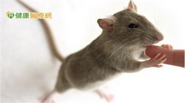遭老鼠咬傷驚罹漢他病毒症候群  防鼠「三不」措施這樣做