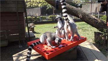 動物園新年趴!狐猴鑽「九宮格」戳好料