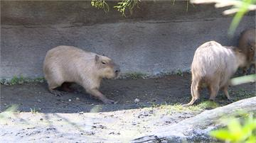 動物園界無敵破壞王!水豚狂吃草皮 人工島光禿禿