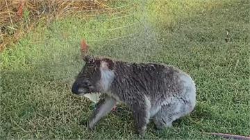 澳洲熱浪來襲 無尾熊也受不了 在灑水器旁邊沖涼