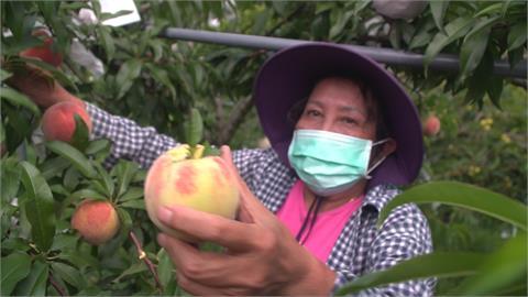 來呷水蜜桃!武陵農場推團購  新竹尖石線上賣