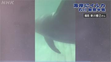 日本能登半島「親民海豚」 罕見主動找遊客玩