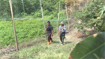 獼猴偷吃害農損慘 農委會推設「電圍網」挨批