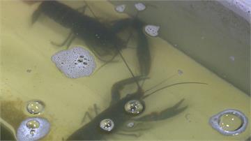 不養大閘蟹改養小龍蝦 苗栗業者靠經驗養殖